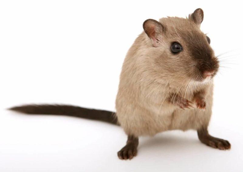 Los hamsters Revoltosos