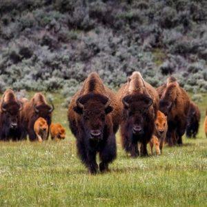 Como la manada de búfalos
