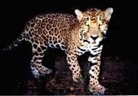 El Jaguar Posa Para la Cámara