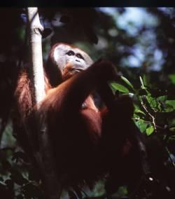 La Cultura de los Orangutanes