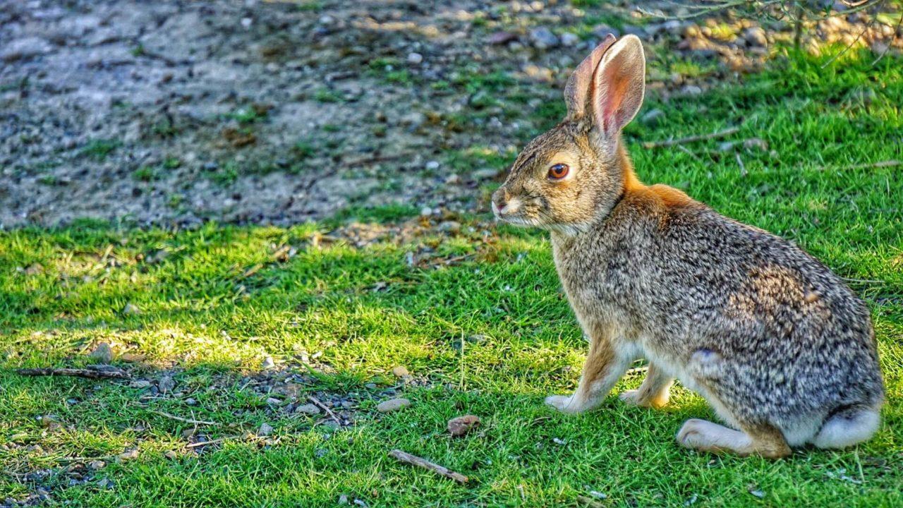 ¿Por qué se cree que una pata de conejo trae buena suerte?