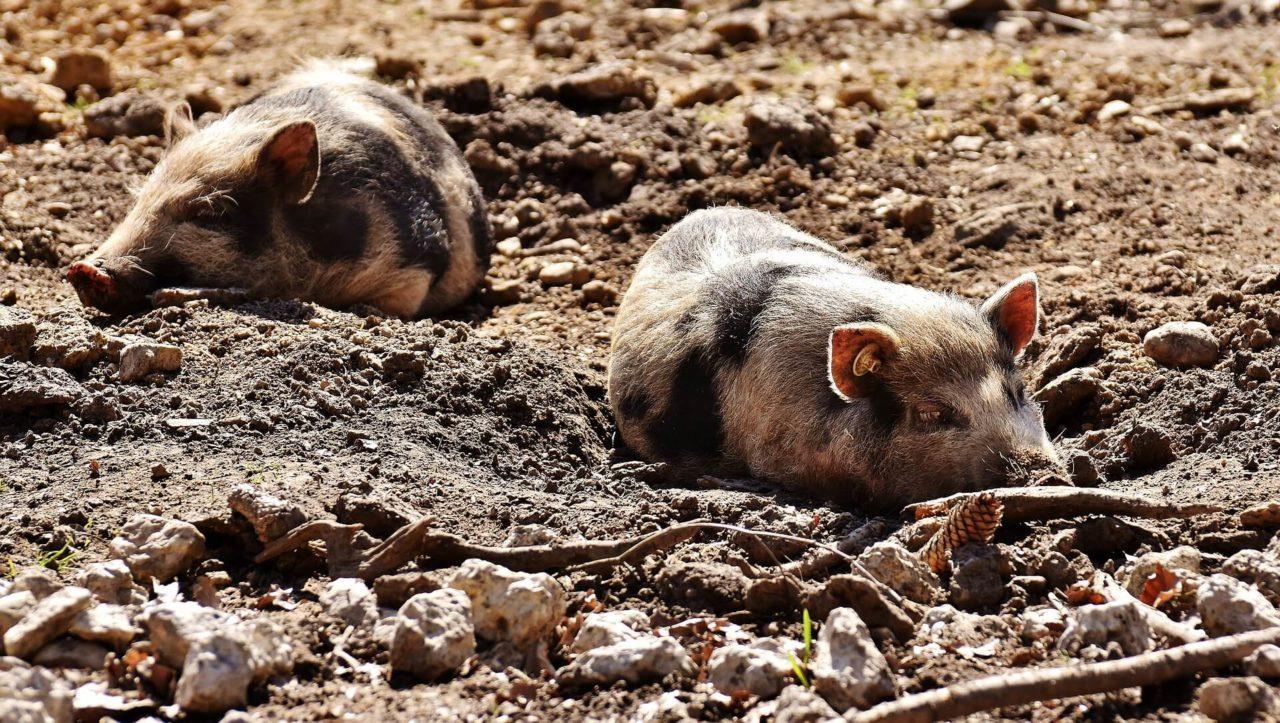 Test: ¿Eres un cerdo/a?