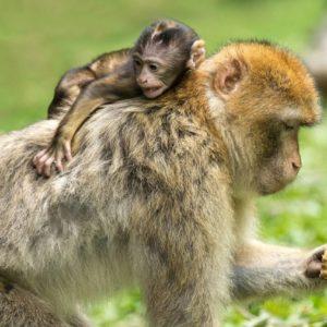 ¿Tiene un Chimpancé Derechos Legales?