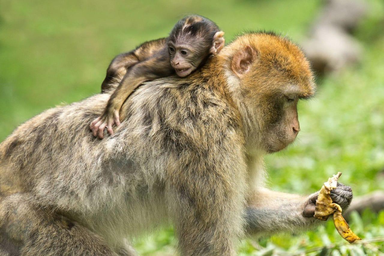 Un mono se escapa de una casa particular y muerde a una niña